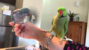 quaker parrots as pets