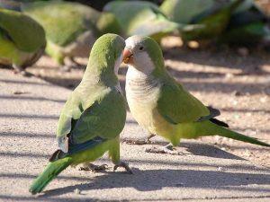 quaker parrots in wild