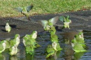 wild quaker parrots in the US